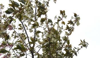 めずらしい黄色の桜.JPG
