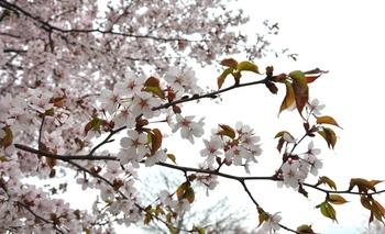 京極の桜.JPG