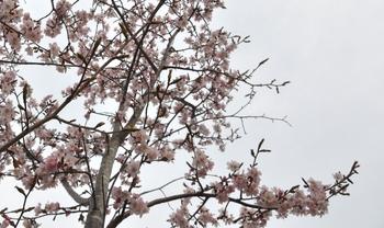 真狩の桜3.JPG
