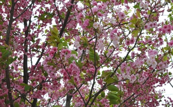 色違いの桜.JPG